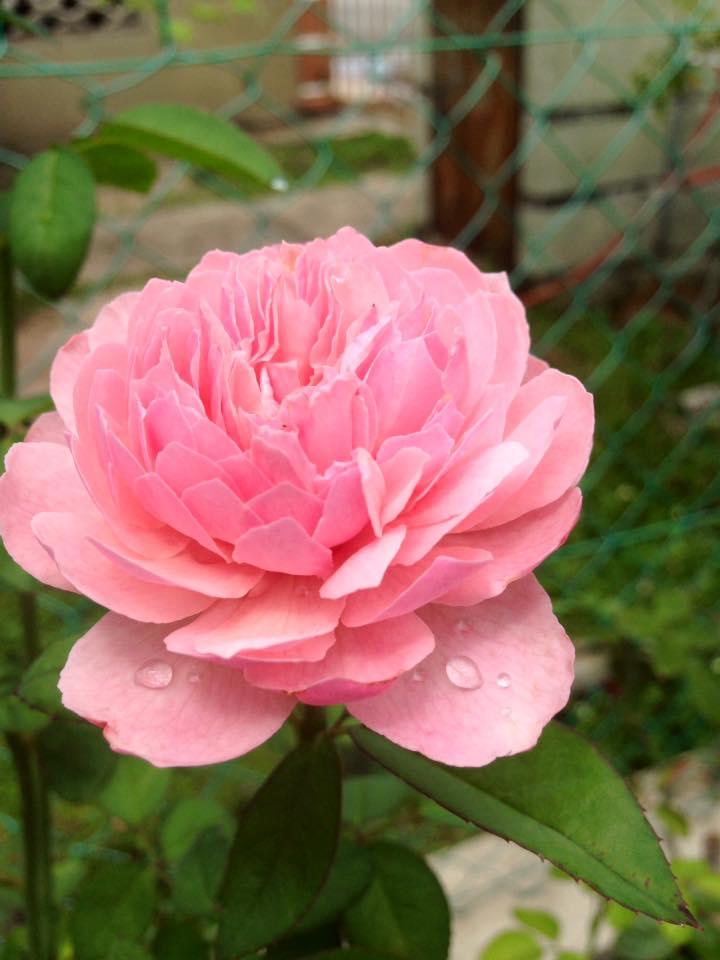 the-alnwick-rose-8