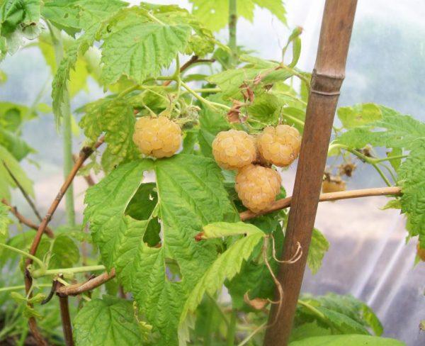 anne-yellow-raspberry-2