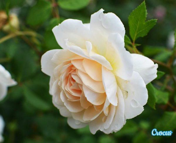 crocus-rose_1465713973