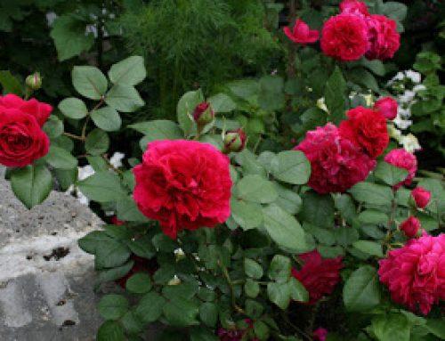 Đánh giá về giống hồng leo Mỹ Ái
