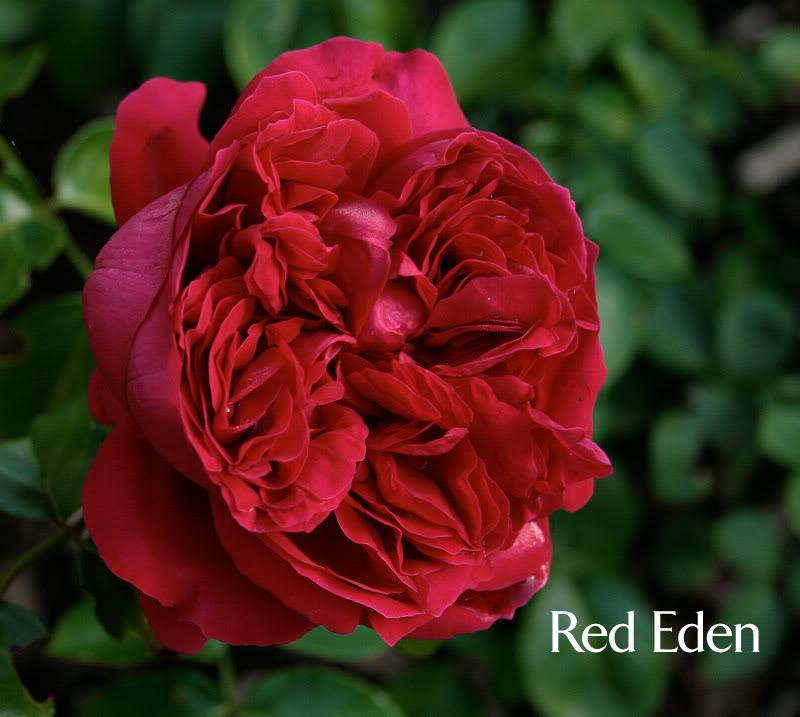 hoa-hong-leo-red-eden_1465618870