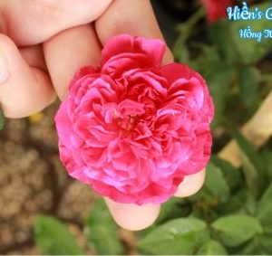 hoa-hong-tuong-vi_1463459053-400x283