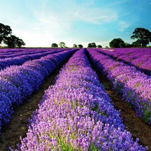 lavender_1465870853