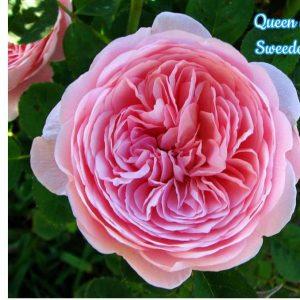 queen-of-sweden_1465715922