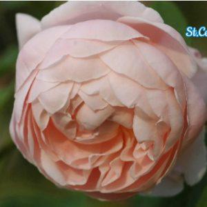 stcecilia_1465710628