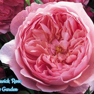 the-alnwick-rose_1465708915