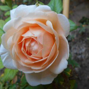 ambridge-rose-0