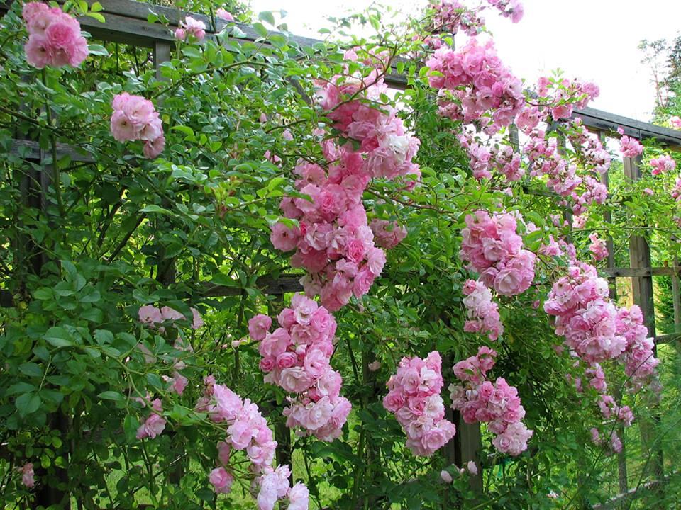 Hoa hồng leo có dễ trồng không?