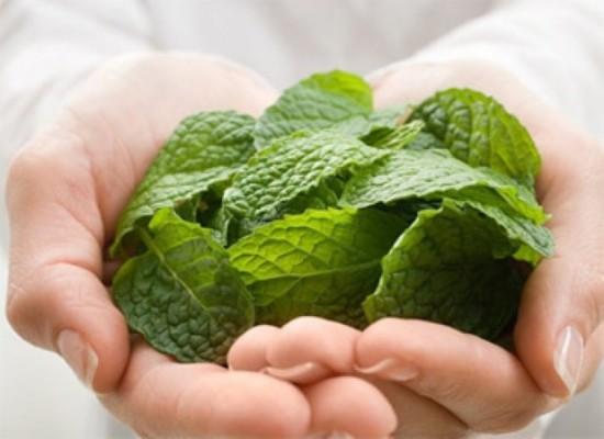 Lá bạc hà là gì? Công dụng của lá bạc hà đối với sức khỏe?