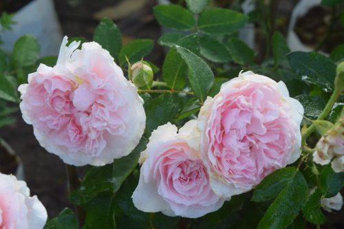 hoa hồng Miranda rose 01