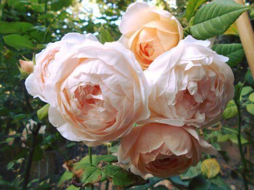 the AMBRIDGE ROSE 2