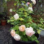 Ambridge rose 1