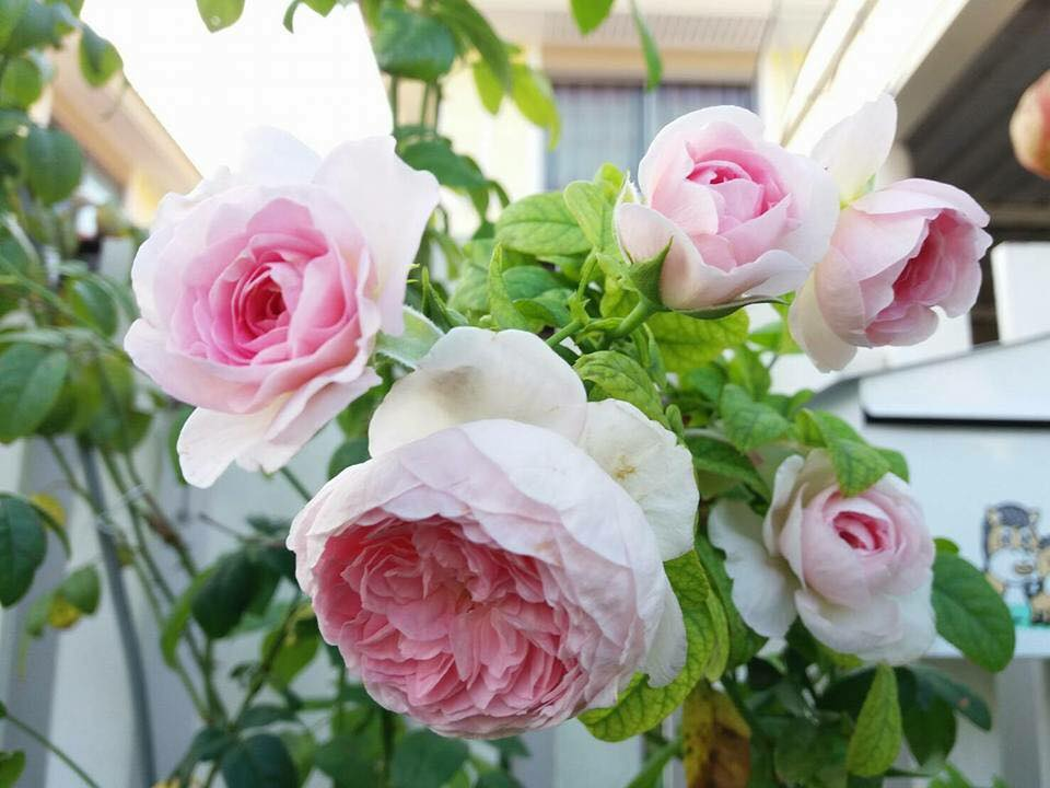 Hoa Hồng leo Mon Couer Rose - Hiền Garden