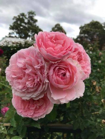 Ảnh Result cho hoa hoa rose